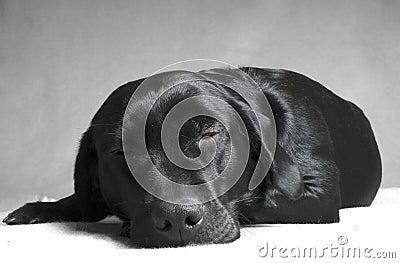 Sleep black labador