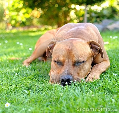 Sleep bull terrier