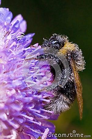Sleep bumblebee on a field flower
