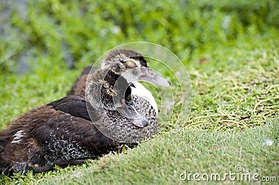 Sleep Duck