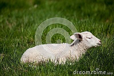 Sleep Lamb