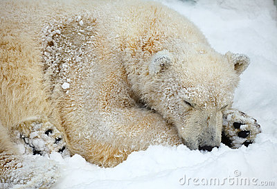 Sleepeng polar bear.