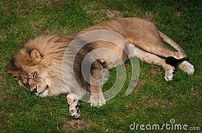 Sleeping African Lion (Panthera leo krugeri)