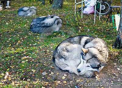 Sleeping Alaskan Malamute