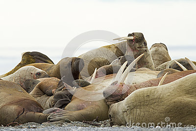 A sleeping alpha walrus male and his females.