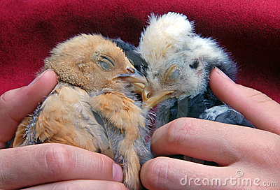 Sleeping Baby Chicks