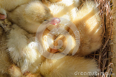 Sleeping baby ducks in the basket, sunshine through the slot