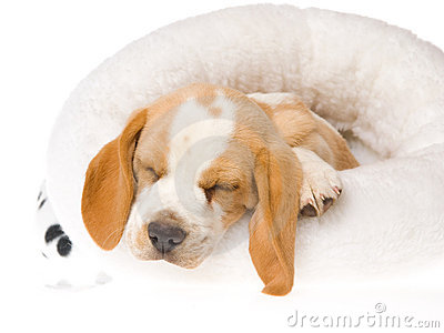Sleeping Beagle Puppy In White Fur Bed Stock Photography - Image