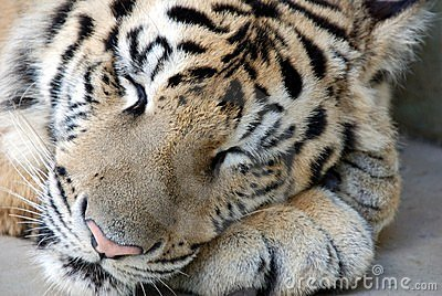 Sleeping Bengal Tiger