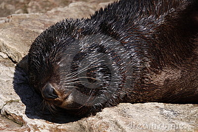 Sleeping brown fur seal