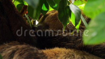 Sleeping brown-throated sloth. Close-up of brown-throated three-toed sloth sleeping on the tree stock video footage