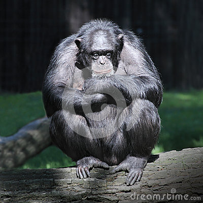 Free Sleeping Chimpanzee. Stock Images - 34456394