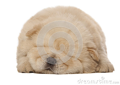 Sleeping chow-chow puppy