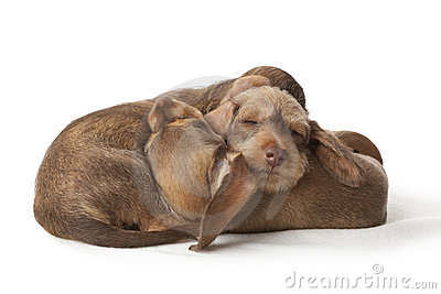Sleeping dachshund puppies