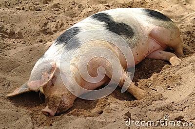 Sleeping dirty pig
