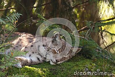 A sleeping Eurasian lynx