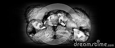 Sleeping Ferrets