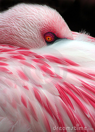 Free Sleeping Flamingo Stock Photo - 8079560