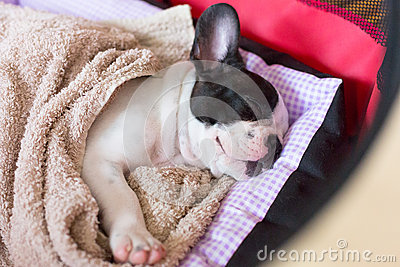 Sleeping French bulldog puppy