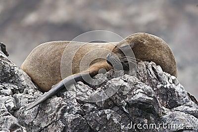 Sleeping Fur Seal