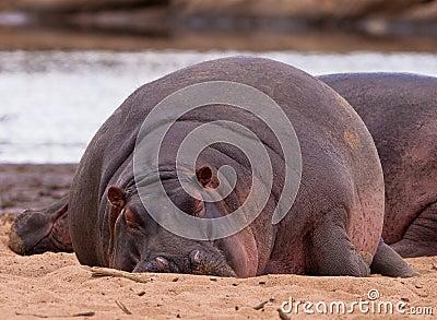 The sleeping giant: Nile Hippo