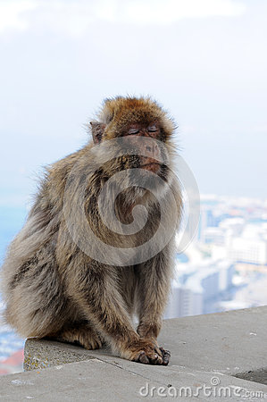 Sleeping Gibraltar ape Stock Photo