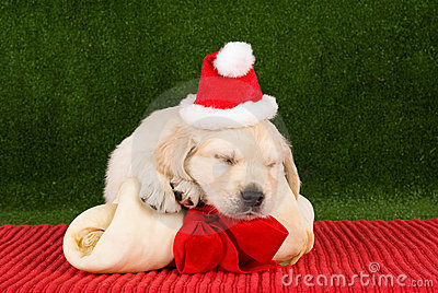 Sleeping Golden Retriever puppies with bone