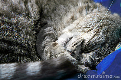 Sleeping grey cat.