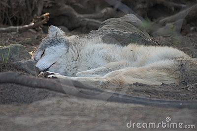 Sleeping Grey wolf pup.
