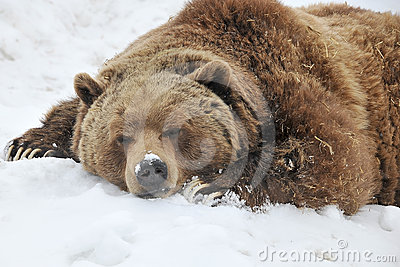 Sleeping grizzly bear