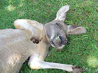 [img width=300 height=225]http://www.dreamstime.com/sleeping-kangaroo-thumb79096.jpg[/img]