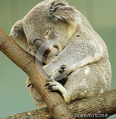 Free Sleeping Koala Royalty Free Stock Photo - 3442405