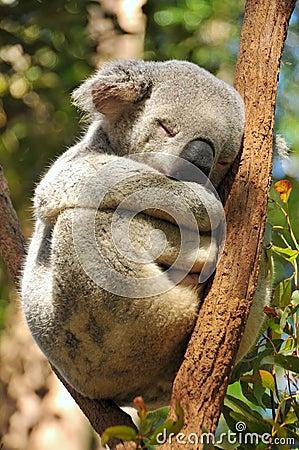 Free Sleeping Koala On A Branch Stock Photography - 16918512
