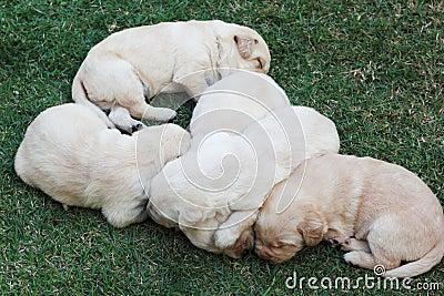 Sleeping labrador puppies on green grass - three weeks old.