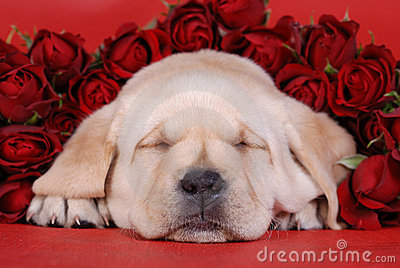 Sleeping Labrador puppy with r