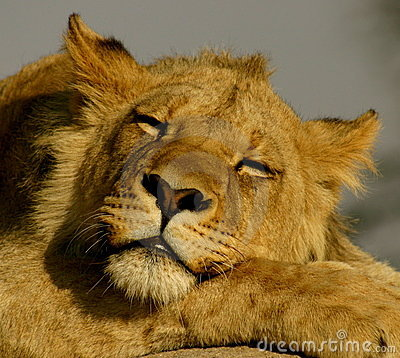 Free Sleeping Lion Stock Photo - 5295420