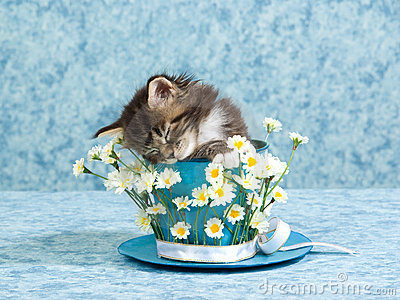 Sleeping Maine Coon kitten in cup