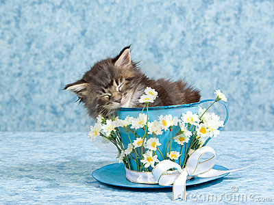 Sleeping Maine Coon kitten in large tea cup