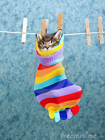 Sleeping Maine Coon kitten in sock