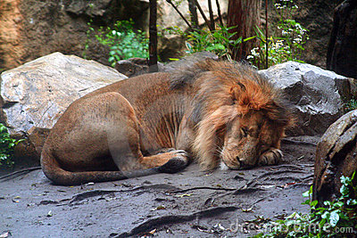 Sleeping male African lion