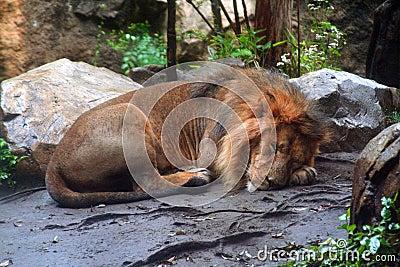 Sleeping male African lion