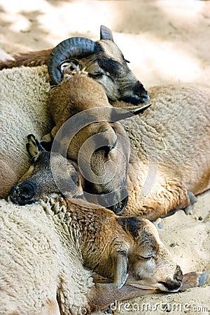 Sleeping muttons