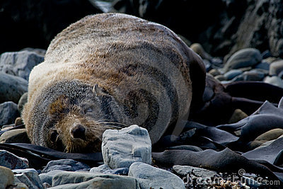 Sleeping New Zealand fur seal