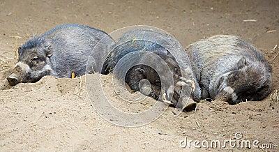 Sleeping North Sulawesi babirusa