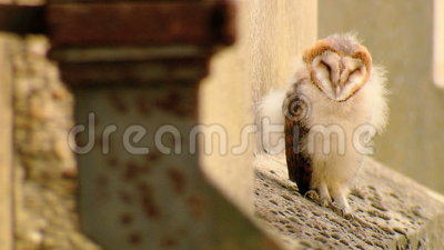 Sleeping Owl stock video footage