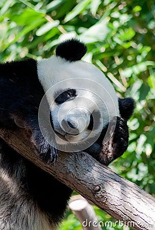 Free Sleeping Panda Royalty Free Stock Image - 21126566
