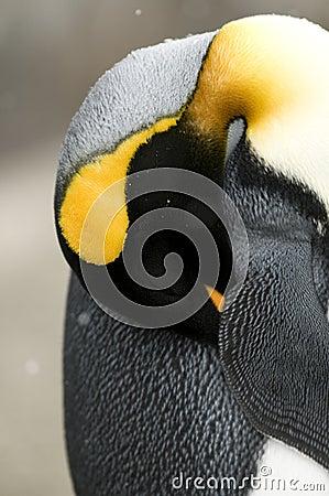 Free Sleeping Penguin Royalty Free Stock Photos - 13453068