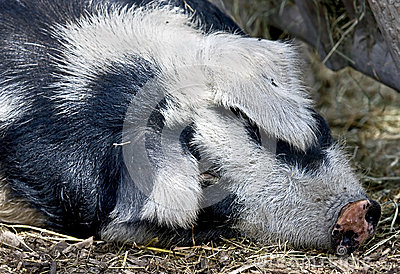 Sleeping pig 1