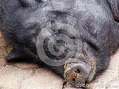 Sleeping pig 2