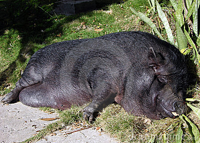 The Sleeping Pig
